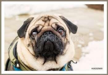 Dog breed pug. Portrait of a pet Innrammede plakater