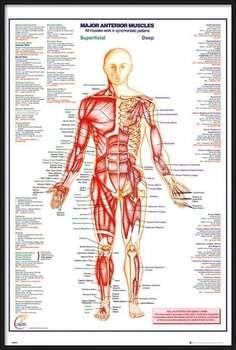 Innrammet plakat Human Body - Major Anterior Muscles